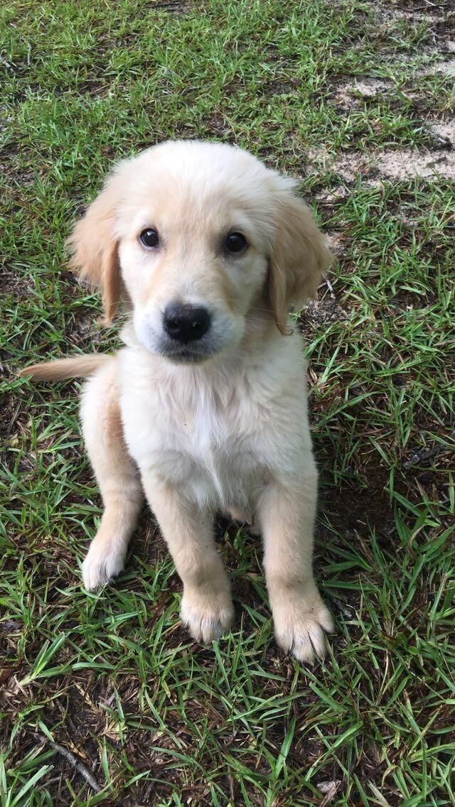 My 10 Week Old Boy Named Charlie Goldenretriever Old Boy Names