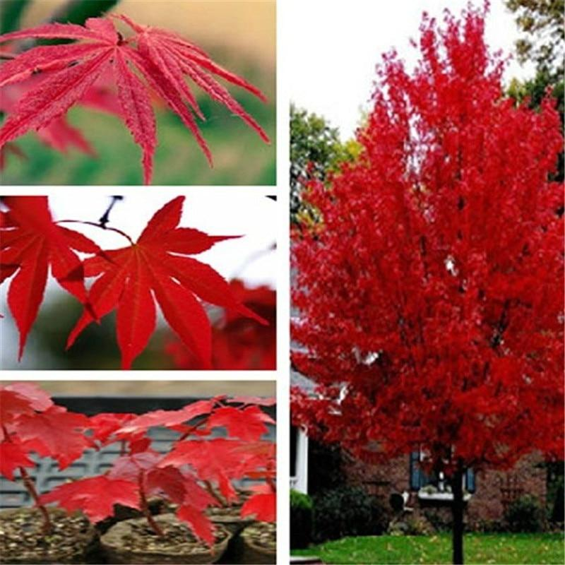 100 pcs japanese rare maple tree perennial rare bonsai plant DIY Home & Garden, Natural Growth tree Grove Shrub outdoor plante #bonsaiplants