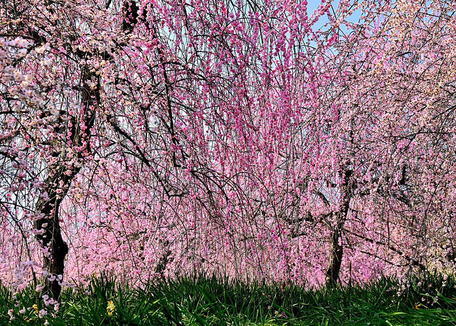 20 Of The Best Pictures Of This Year S Japanese Cherry Blossoms Japanese Cherry Blossom Cherry Blossom Cherry Blossom Season