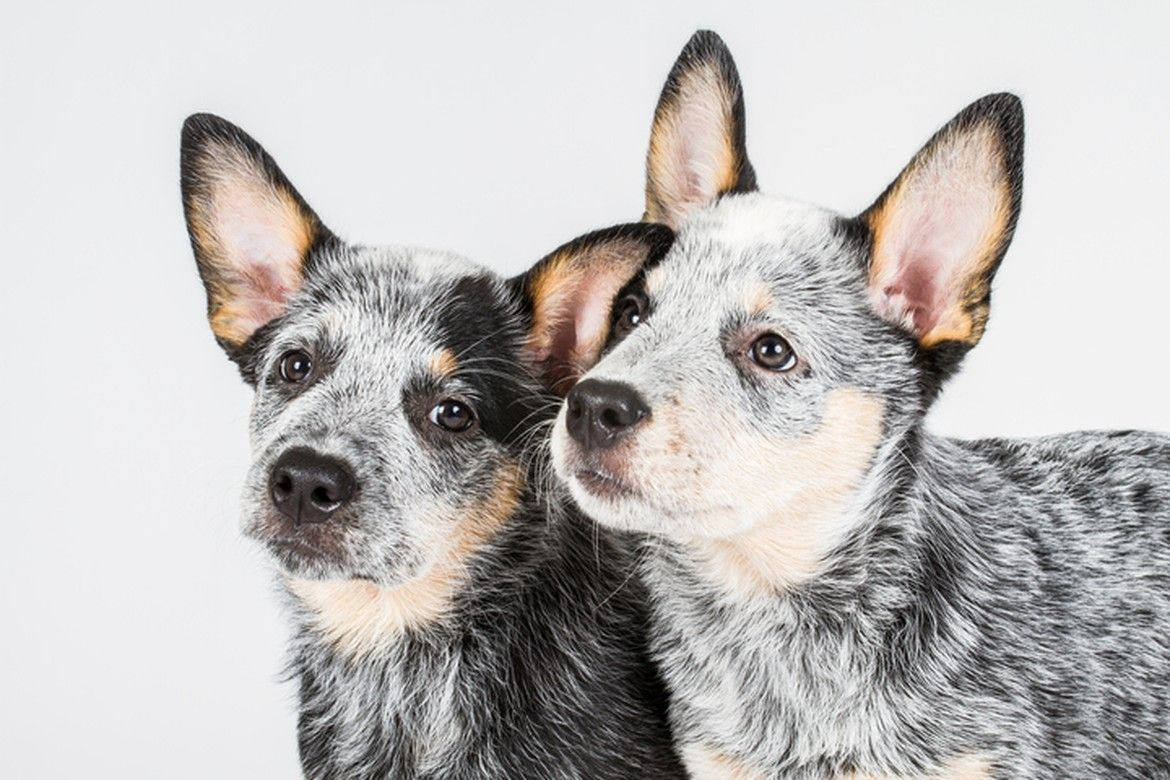 Puppy Breeds For Sale Australian Cattle Dog Cattle Dog Austrailian Cattle Dog
