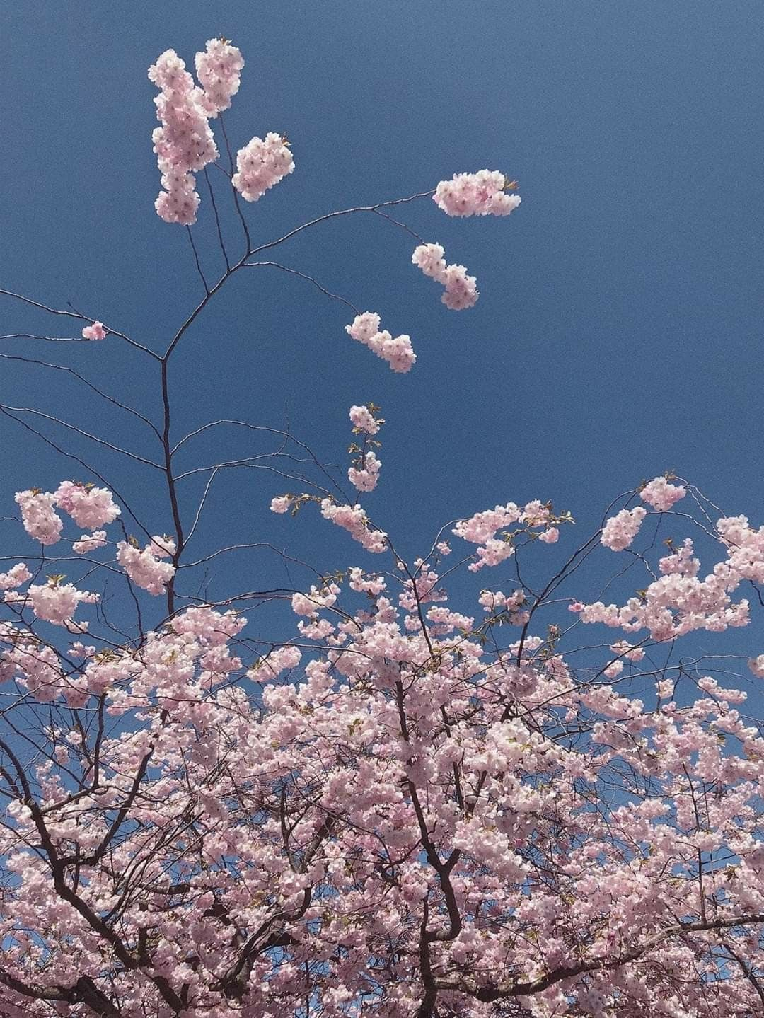 Aesthetic Cherry Blossom Quotes