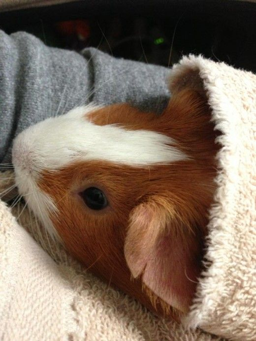 How to Care for Guinea Pigs (with Pictures) - wikihow.pet