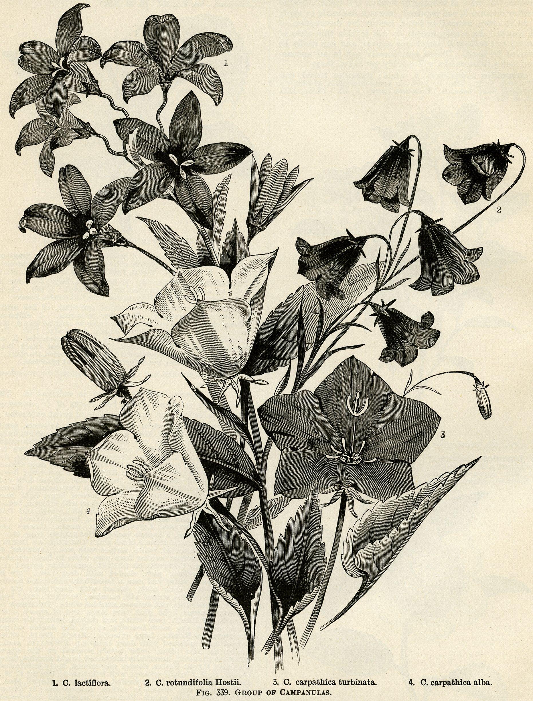 Campanula Flower Vintage Botanical Engraving Black And White Clip