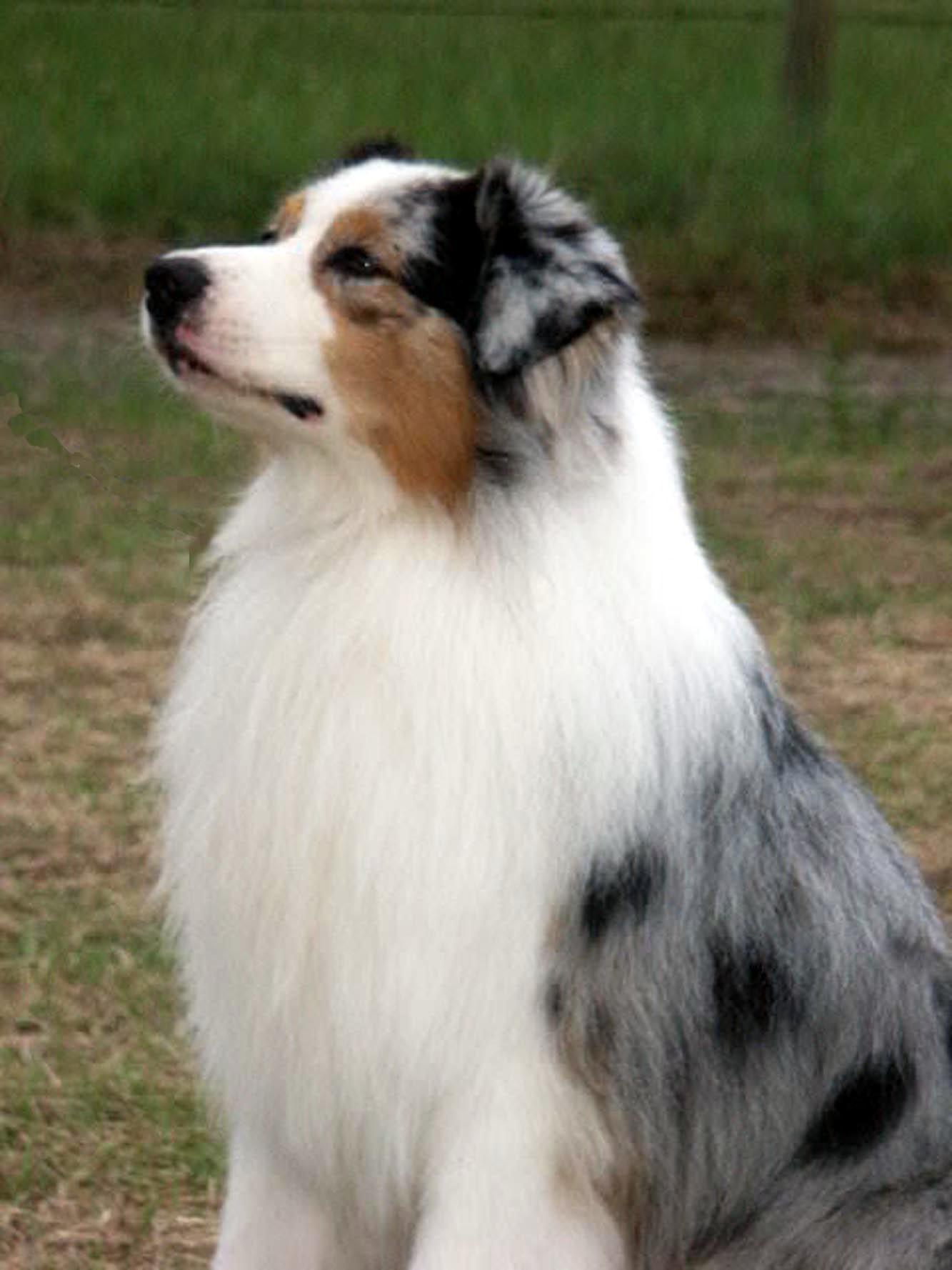 Blue Merle Australian Shepherd Mine Is Aglio Pronounced Ollie O