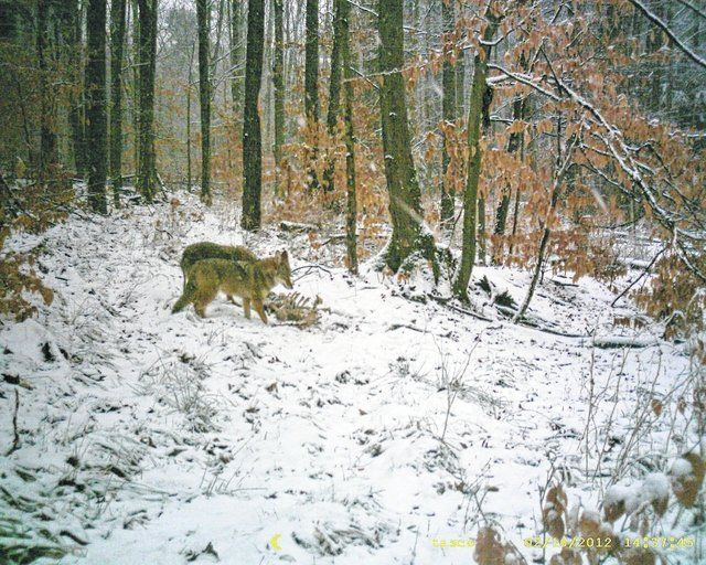Area coyote hunts coming up Coyote hunting, Coyote