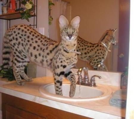 Very exotic bengal, serval, savannah, and caracal kittens for sale | Listed Items Community