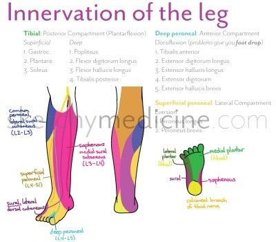 innervation of the lower