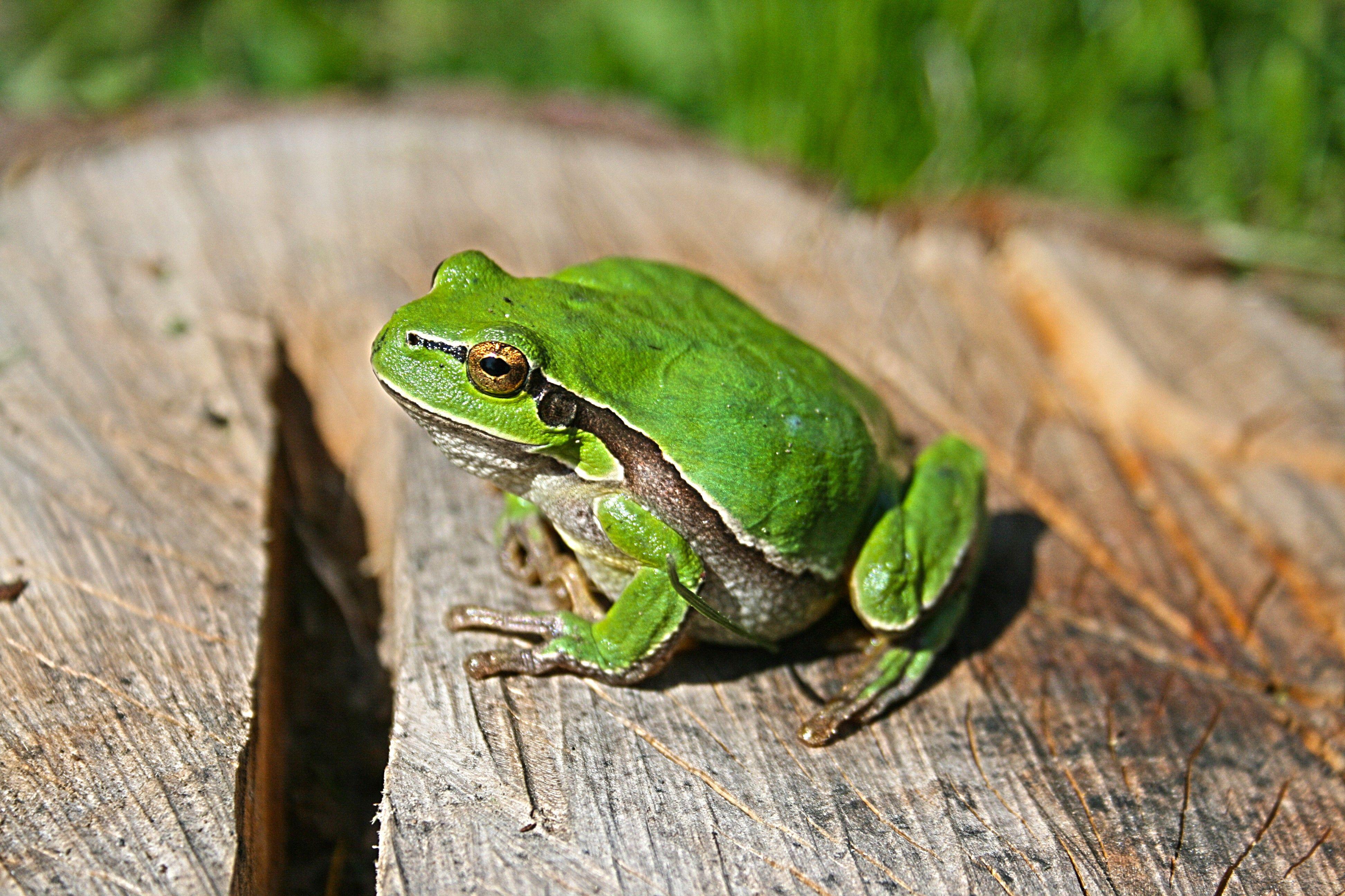 tree frogn amphibian wallpaper iphone 7 download high
