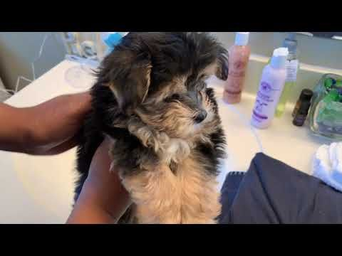 New Puppy S First Bath Featuring Polo Prince Youtube
