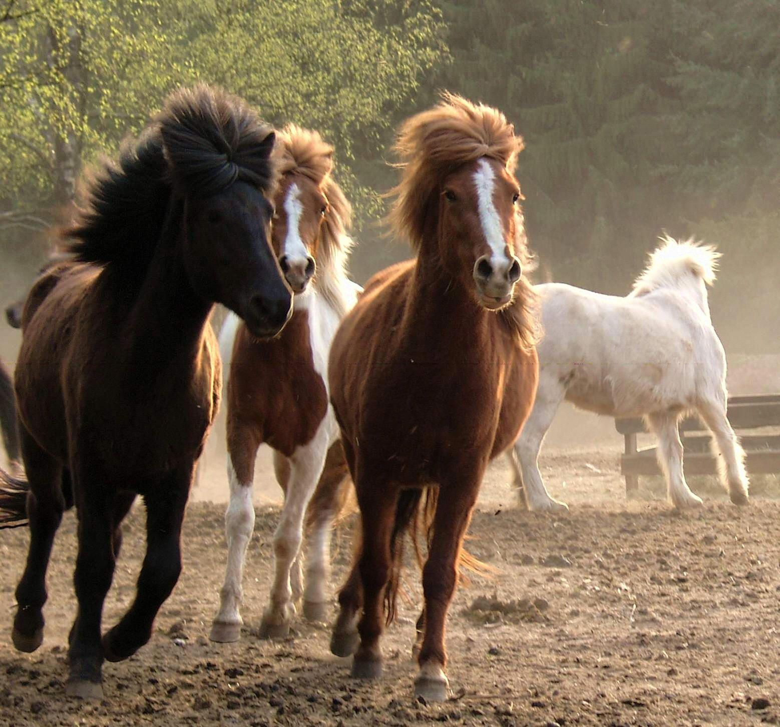 Jungpferdeaufzucht Alles Fur Die Pferde Auf Dem Gestut Nahetal Pferde Islandpferde Pferd