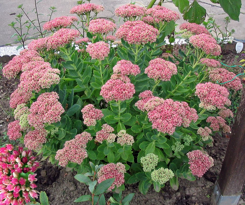 Outdoor flowers that like sun - Sedum Planted In Triangle Garden Front Garden And On The Hill In Back
