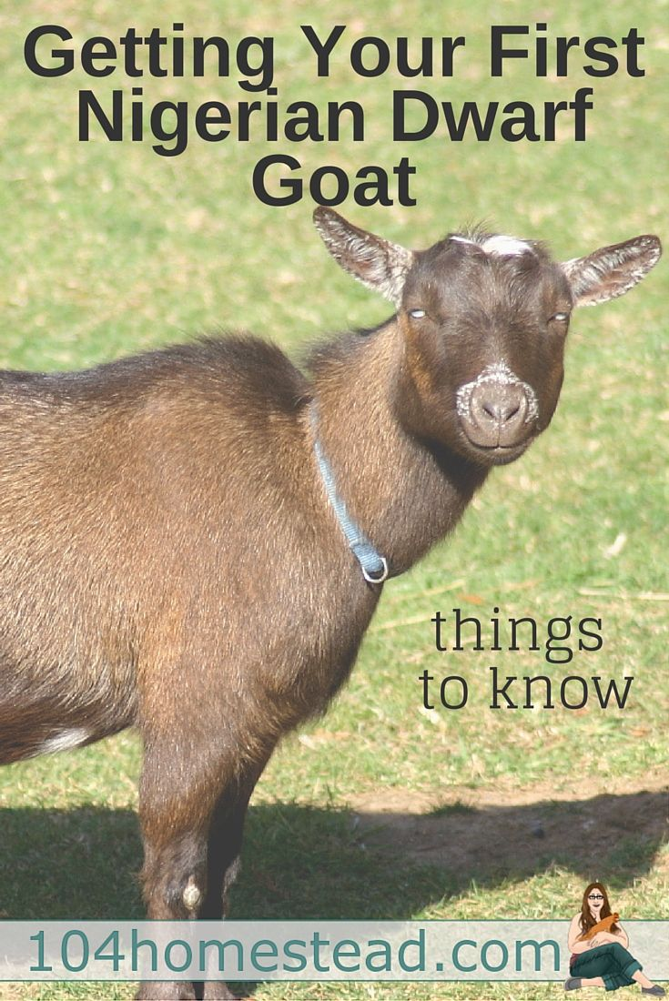 Considering Nigerian Dwarf Goats for Your Homestead ...