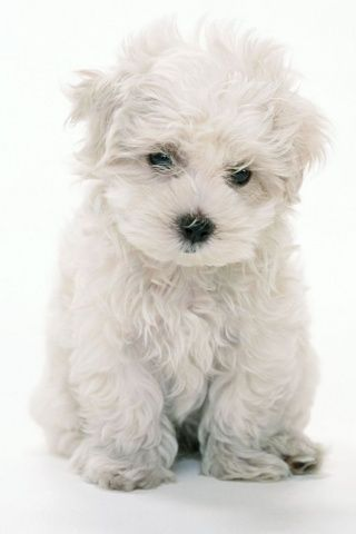 kleiner wei er hund s tier hund stylefruits inspiration fav pinterest. Black Bedroom Furniture Sets. Home Design Ideas