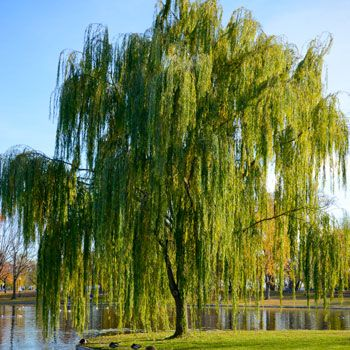 Shade Trees For Sale Fast Growing Trees Weeping Willow Tree Weeping Willow Tree Shade Trees Fast Growing Shade Trees