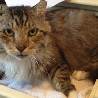 Please Help Fatty Cat Get His Ear Canal Surgery! Fatty