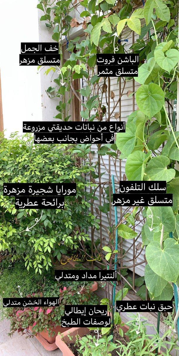 6 فهد Drehimm تويتر Zimmerpflanzen Ideen Pflanzen Zierpflanzen