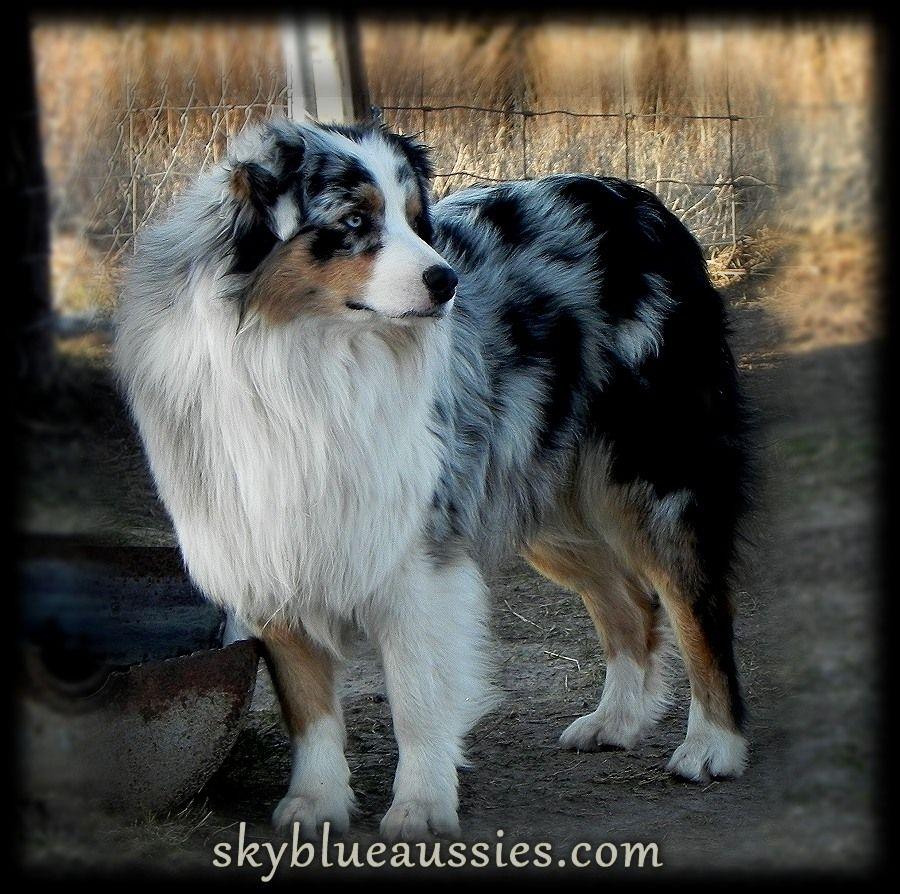 Sky Blue Ranch Bowdie Blue Merle Australian Shepherd Australian Shepherd Australian Shepherd Dogs Australian Shepherd Puppies