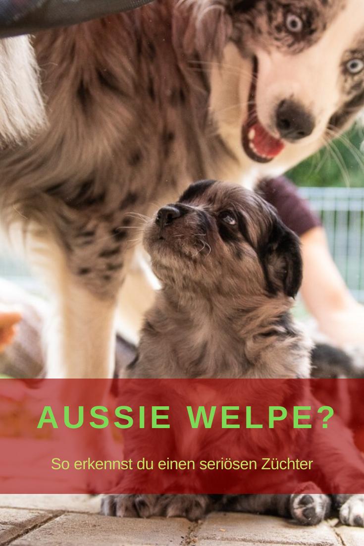 Erkenne Einen Seriosen Australen Shepherd Zuchter In 2020 Welpen Aussie Welpen Hundebaby