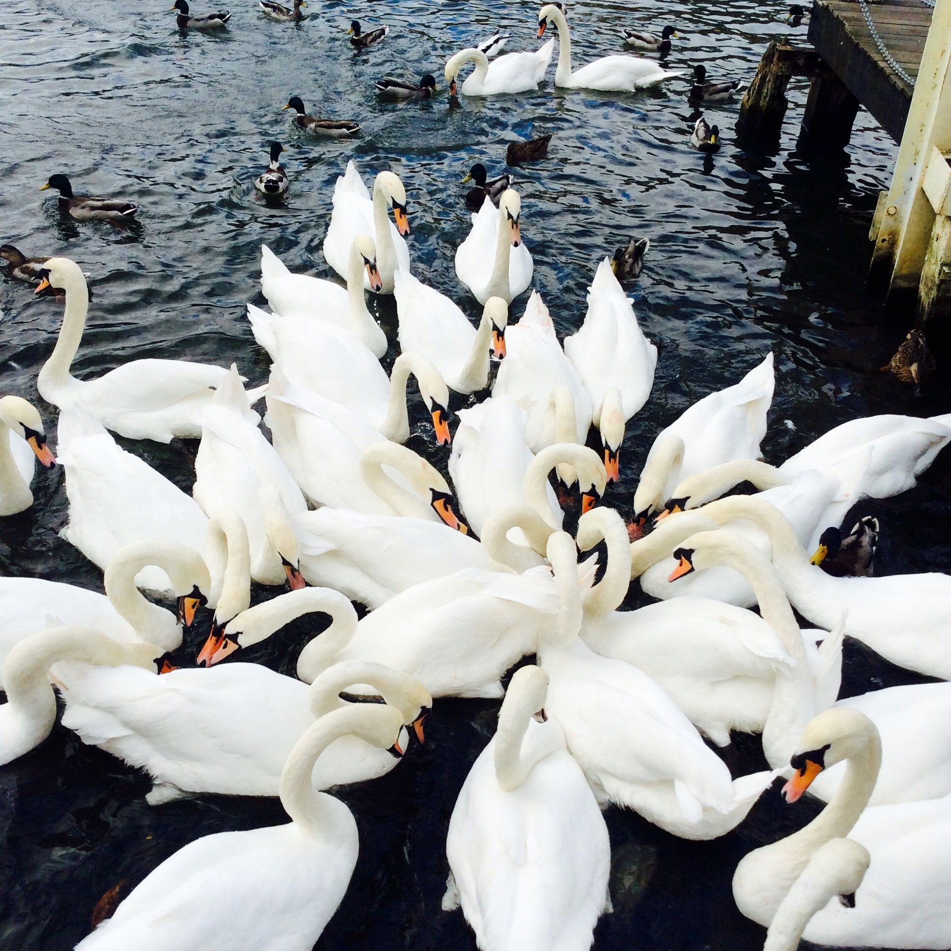 Swans  photo by me