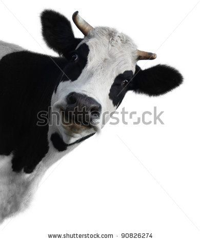 Funny Image For Birthday Card Cow Illustration Funny