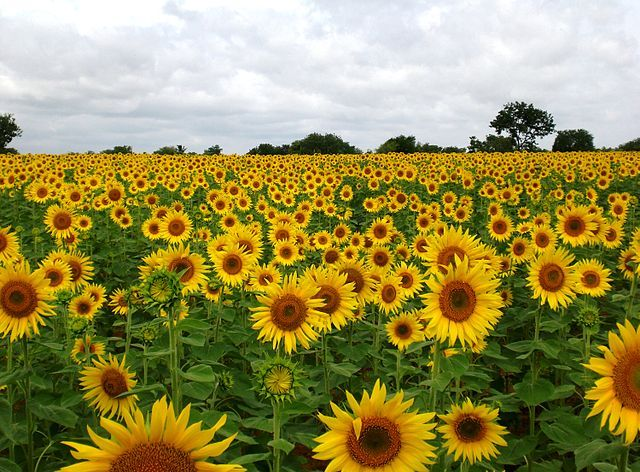 Related Image Sunflower Fields Sunflower Photo Sunflower