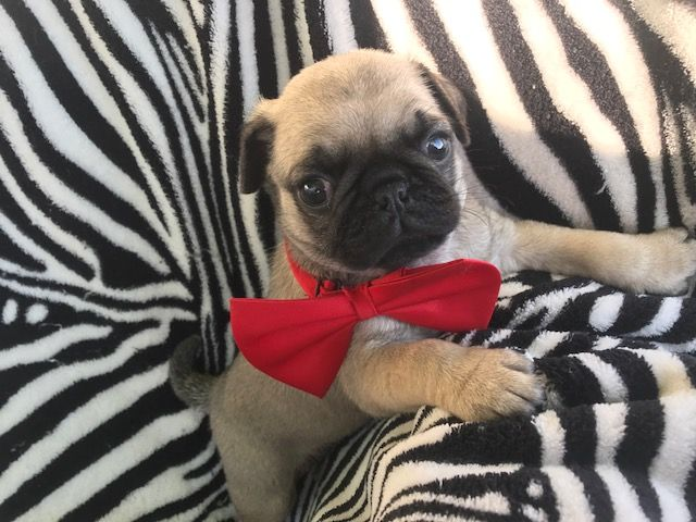 Pug Puppy For Sale In Quarryville Pa Adn 33241 On Puppyfinder