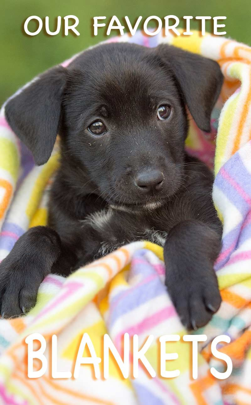 Our Favorite Dog Blankets Labrador puppy training