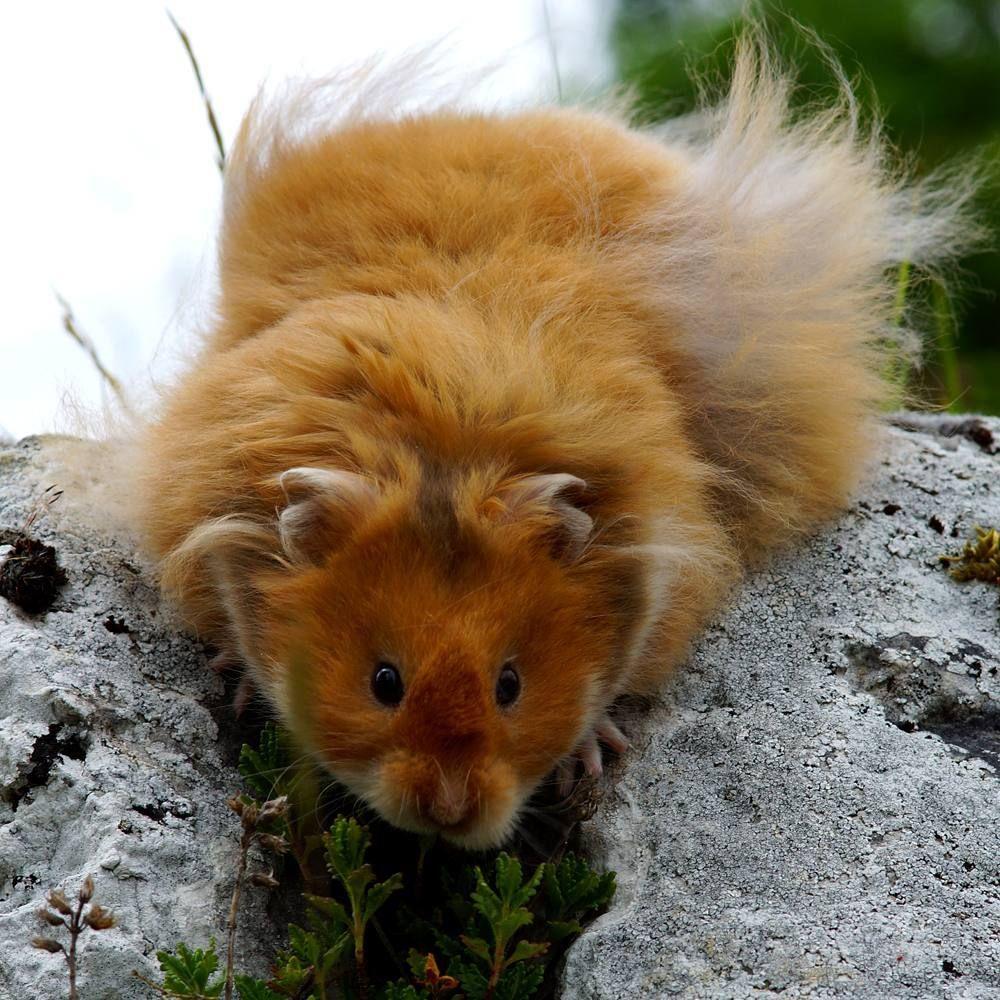 "All About Syrian ""Teddy Bear"" Hamster Bear hamster, Baby"