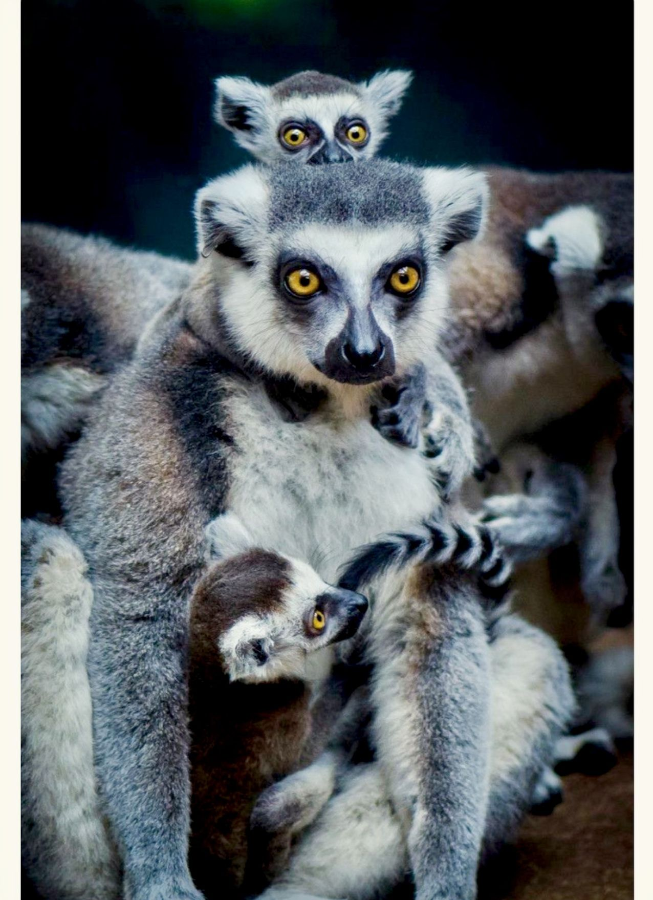 8be6061294 Pretty Ring-tailed Lemurs (Lemur catta) of Madagascar are highly social
