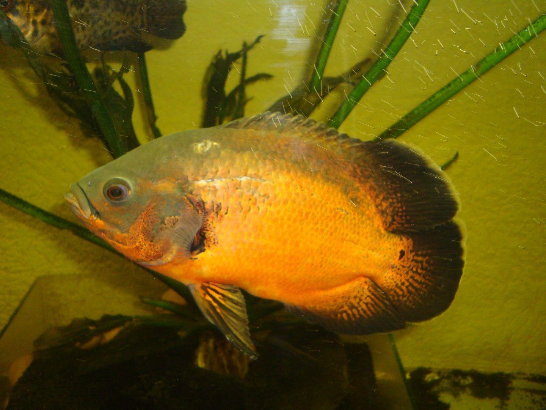 Fotos de pez oscar 49