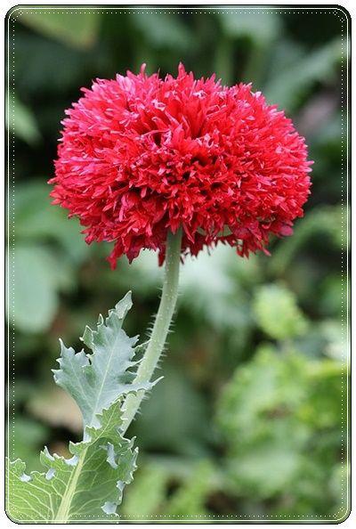 Kizil Tuylu Gelincik Papaver Crimson Feathers Cicek Guller Bahce