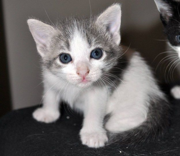 This girl with the prettiest blue eyes.   39 Overly Adorable Kittens To Brighten Your Day