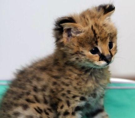 Look At This Felinos Animales Exoticos Mascotas