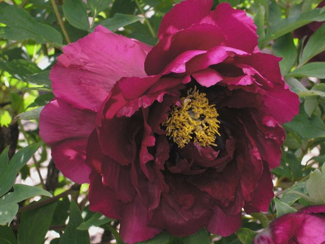 Gold Sand In A Black Ocean Tree Peony: Source Cricket Hill Garden, 4 Ft