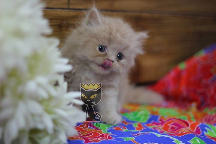 Name Lolly Age 1 Month 25 Days Face Semi Punch Gender Female Coat Triple Coated Price Pkr 9 000 Contact 03144477790 Cat Tshirt Cat Clothes Cat S