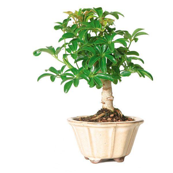 Hawaiian Umbrella Tree (260 NOK) ❤ Liked On Polyvore Featuring Home,  Outdoors,