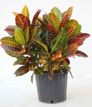 Croton Flower Care Instructions Çiçek Doğa Yapay Çiçekler 400 x 300