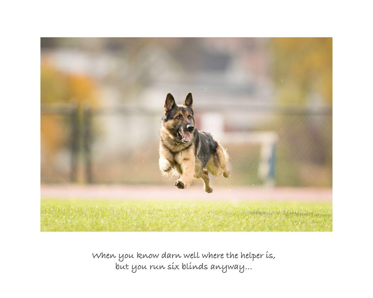 Schutzhund Ipo Igp Schutzhund Dogs Gsd