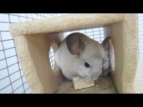 Safe Woods for your Chinchilla to Chew Animais