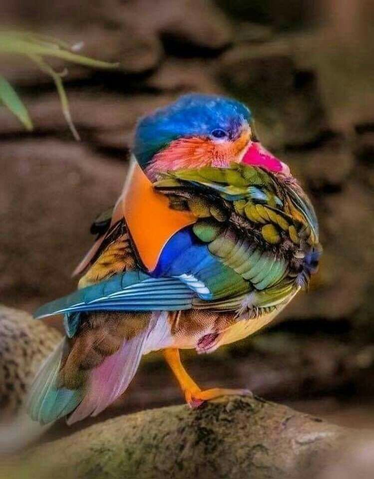 Pin Di Hellenice Belmont Su Beautiful Birds And Some Silly Ones To Uccelli Multicolore Uccelli Selvatici Animali