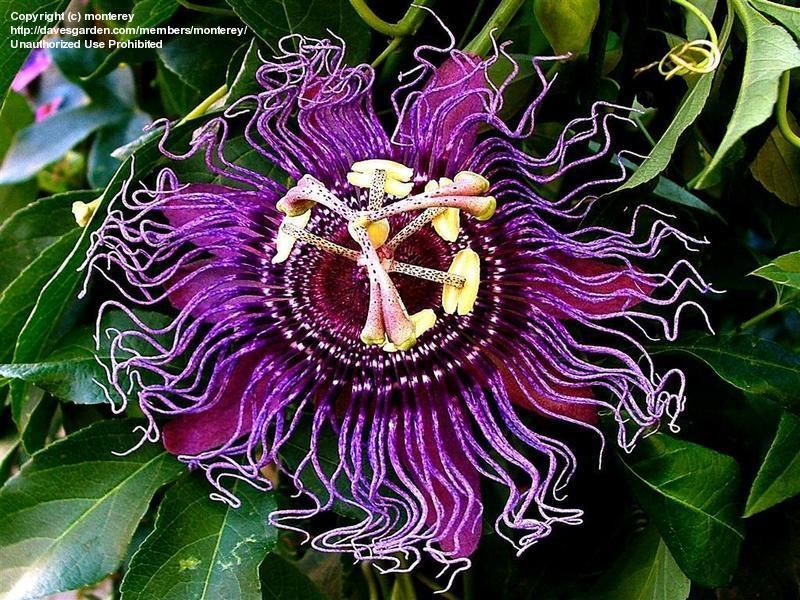 Plantfiles Pictures Passion Flower Passionflower Passion Vine Passionvine Incense Passiflora 1 By Bugg Passion Flower Trees To Plant Flowers Perennials