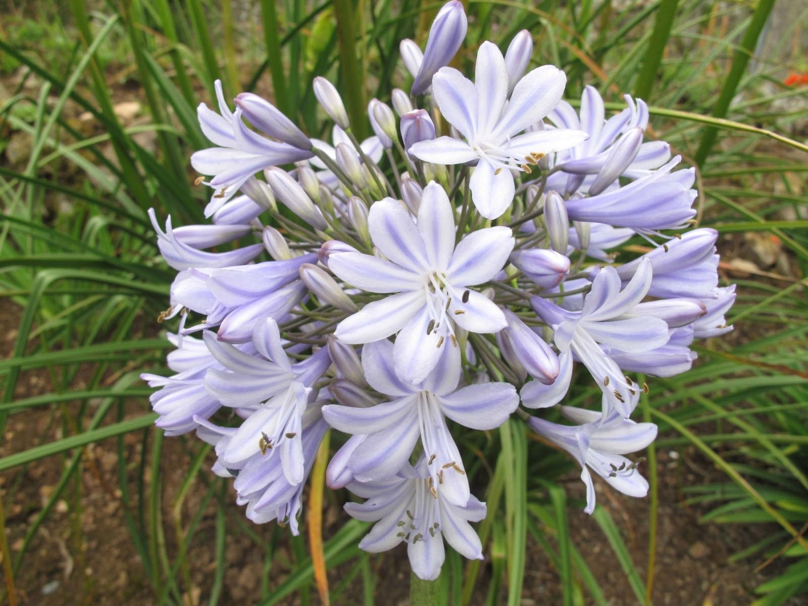 Another Eye Catcher Agapanthus Ice Blue Star With The Softest Blue