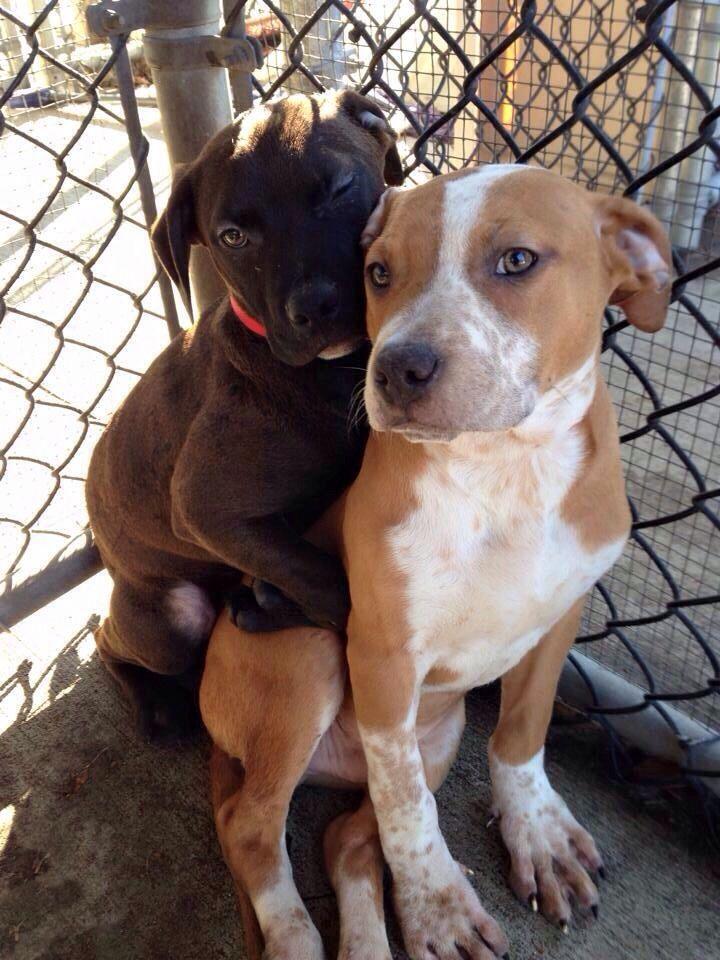 Rottweiler rescue illinois pets