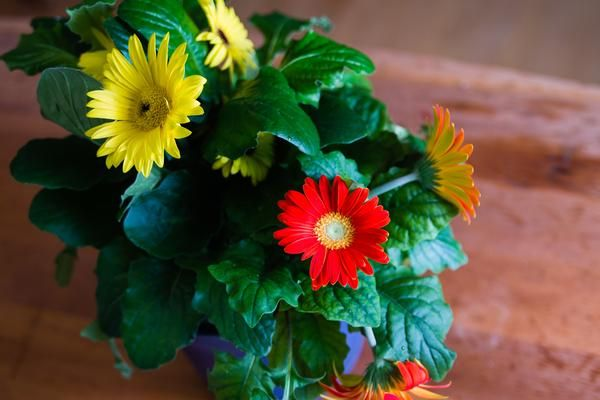 How To Care For Gerbera Daisies Inside Gerbera Daisy Care