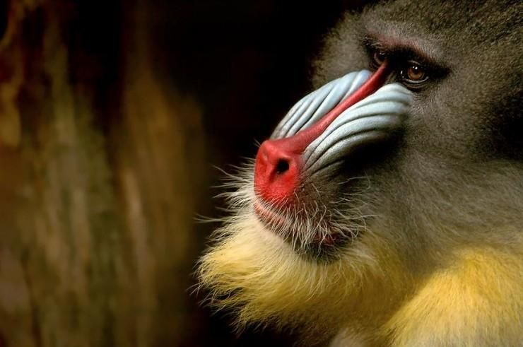 Baboon | Animals - Primates | Pinterest | Primate and Animal