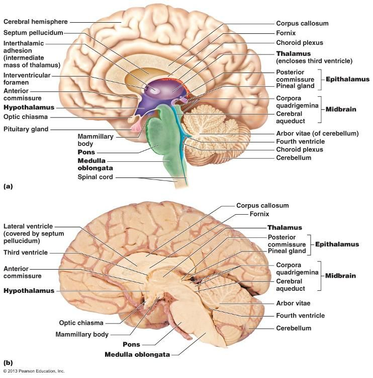 Midsagittal Section Of The Brain The Central Nervous System