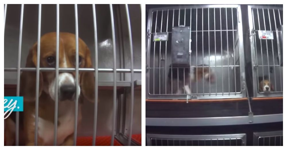 At Last Dow Ends Cruel Testing On 36 Beagles In Michigan Lab