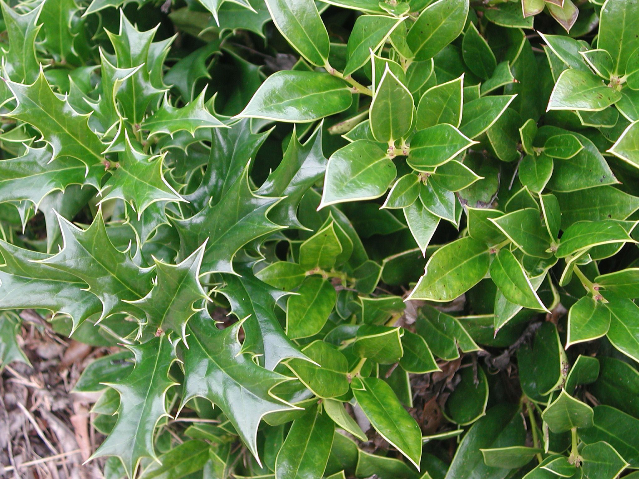 black singles in hollytree Some shrubs - like holly - require separate male and female plants in order for pollination to occur for berry production but how does one go about identifying male and female holly bushes click here to find out.