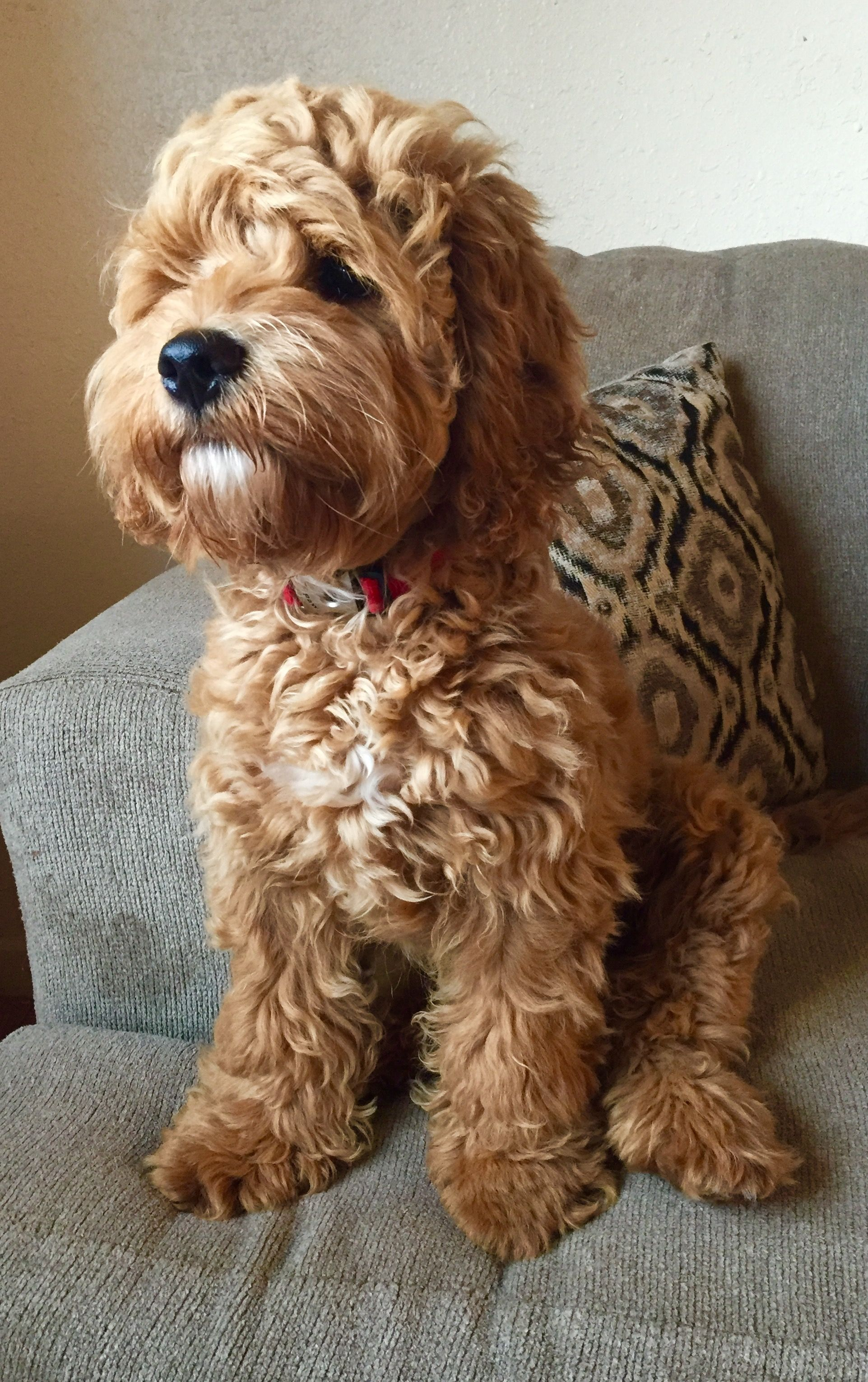 Chase 6 months old cockapoo   Chase-Cockapoo!   Pinterest ...