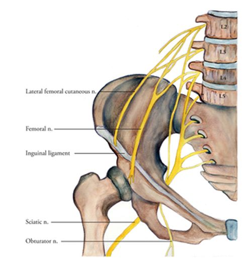 lumbar nerves   at the inguinal ligament and just distal to it, Muscles